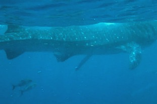 Snorkeling video with giant whale shark's in Mexico!